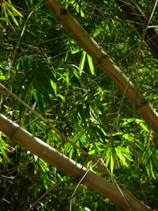 bambous autour bassins cormorans 2